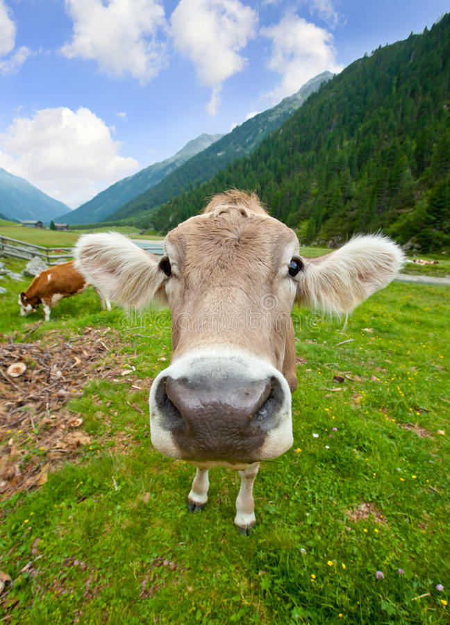 Funny cow stock image. Image of mountains, countryside ...