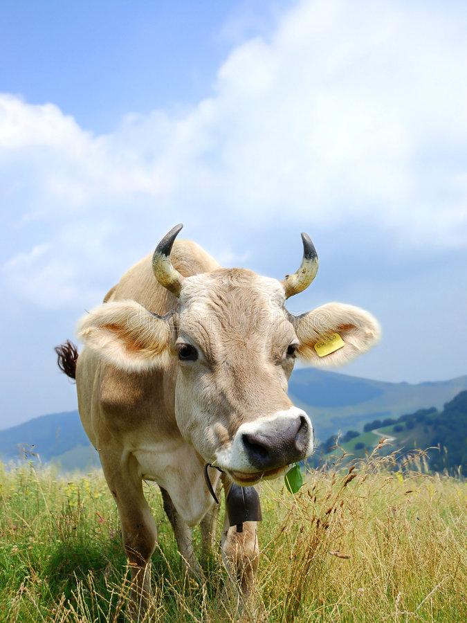 Download Funny cow stock photo. Image of bovine, farmland, fresh - 2703554