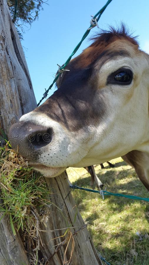 Funny cow eating at a tree with a wet nose royalty free stock photos