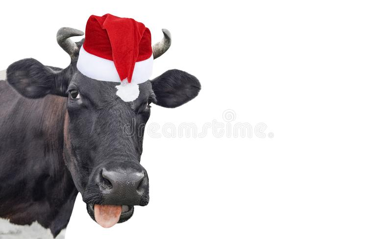 Funny cow isolated in Christmas hat. Black cow portrait isolated on white. Farm animals stock images