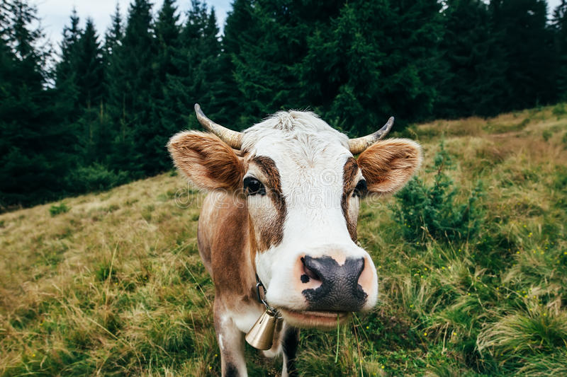 Funny cow on a meadow in forest. Animal background royalty free stock photo