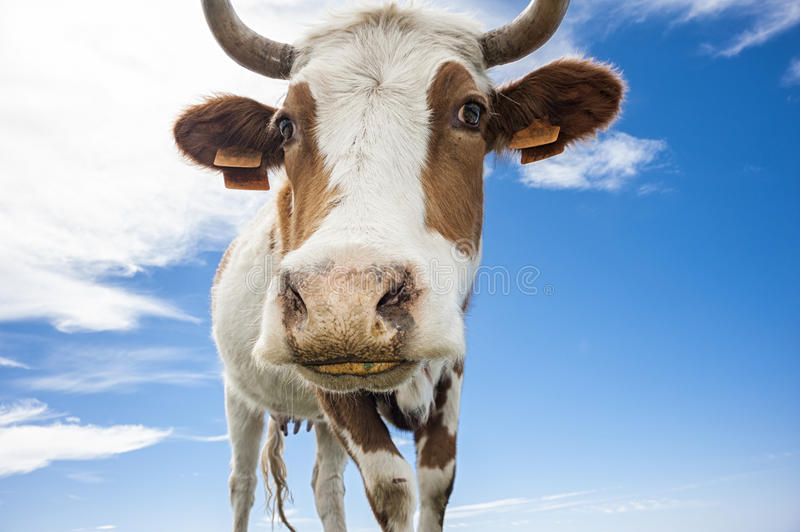 Funny cow. A funny cow with sky background stock photos