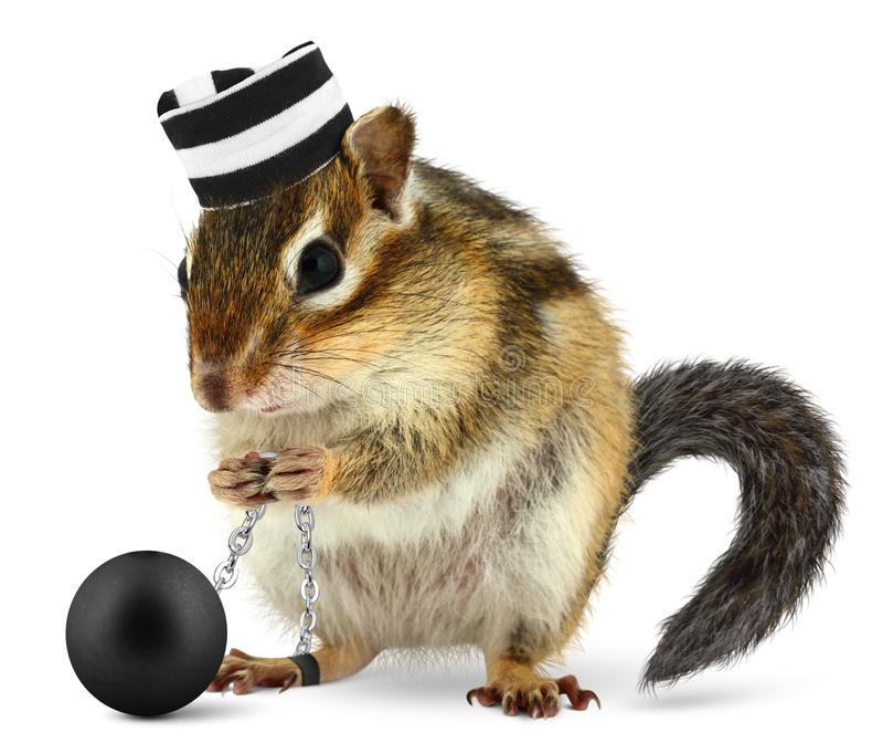 Funny criminal chipmunk in prison hat royalty free stock images