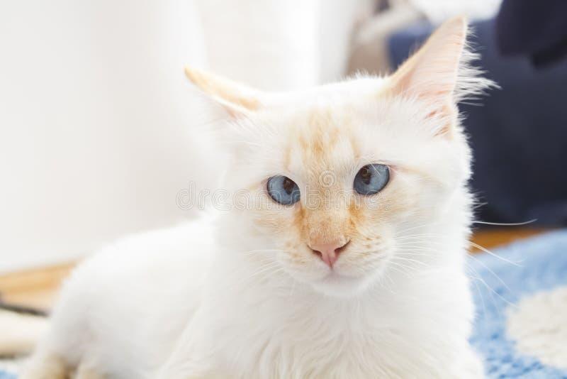 Funny Cross Eyed Ragdoll Cat. A cream point, cross-eyed ragdoll cat in a sunny living room royalty free stock photos