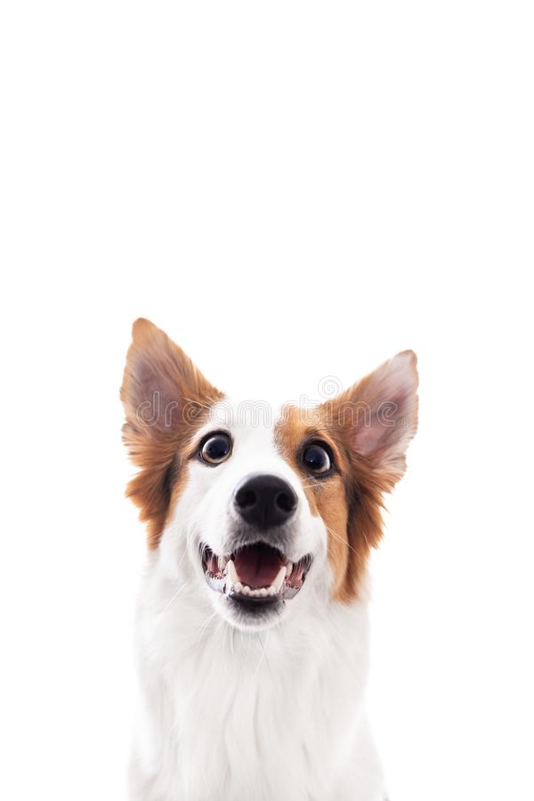 Funny cultivation of a dog with big eyes and open mouth stock photo