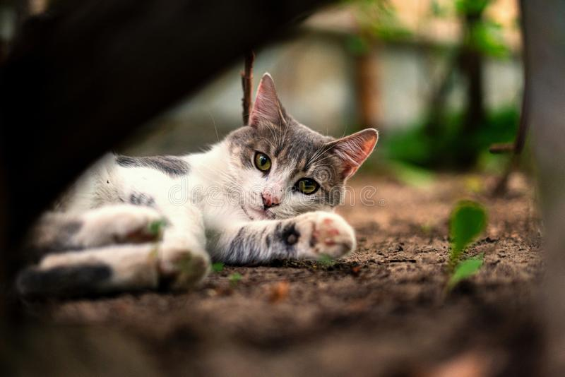 Funny curious cat of white and grey color chillin and playing outdoors s. Funny curious cat of white and grey color chillin and playing outdoors stock image