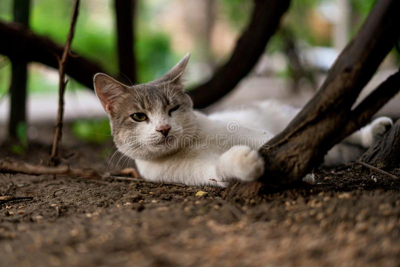 Funny curious cat of white and grey color chillin and playing outdoors s. Funny curious cat of white and grey color chillin and playing outdoors stock photography