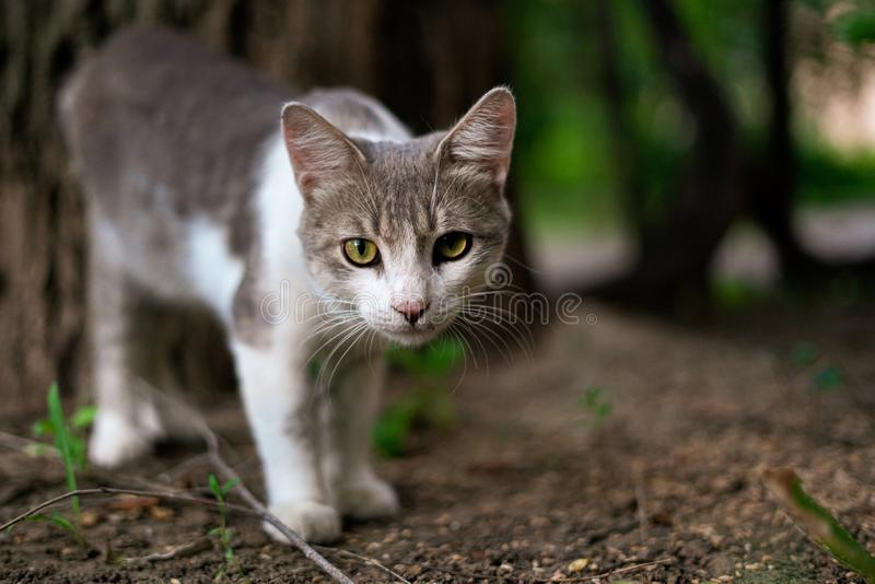 Funny curious cat of white and grey color chillin and playing outdoors s. Funny curious cat of white and grey color chillin and playing outdoors royalty free stock photos