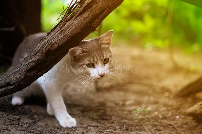 Funny curious cat of white and grey color chillin and playing outdoors s. Funny curious cat of white and grey color chillin and playing outdoors stock photo