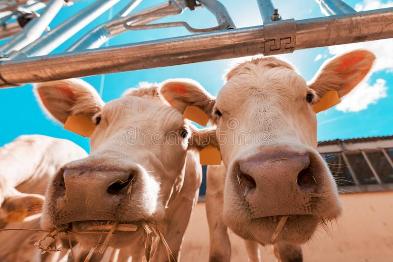 Funny curious cows on dairy cattle farm stock images