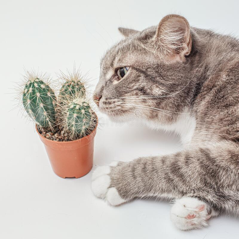 Curious domestic cat sniffs and touches a cactus in a pot. concept of pets curiosity. Funny and curious domestic cat sniffs and touches a cactus in a pot stock photo