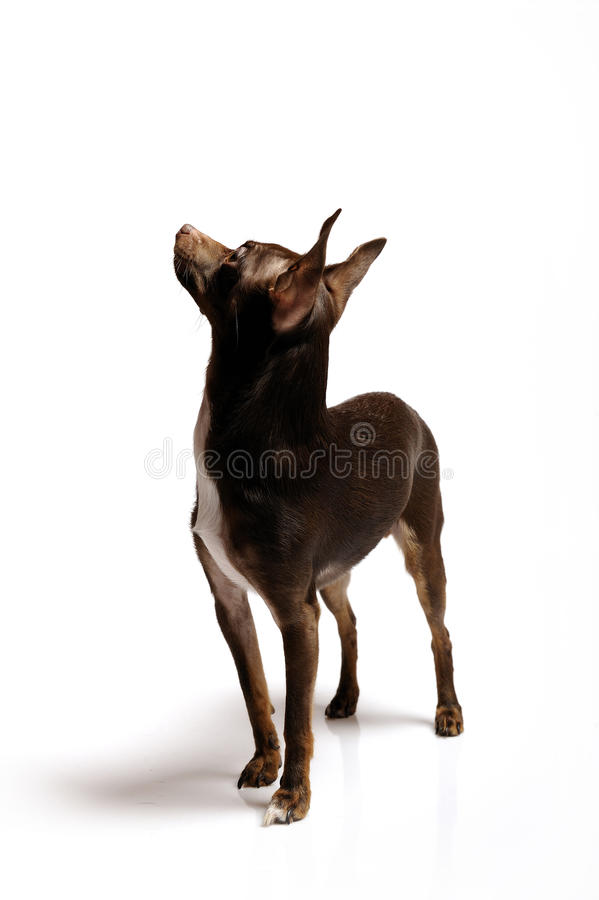 Download Funny Curious Toy Terrier Dog Looking Up Stock Image - Image: 13986451