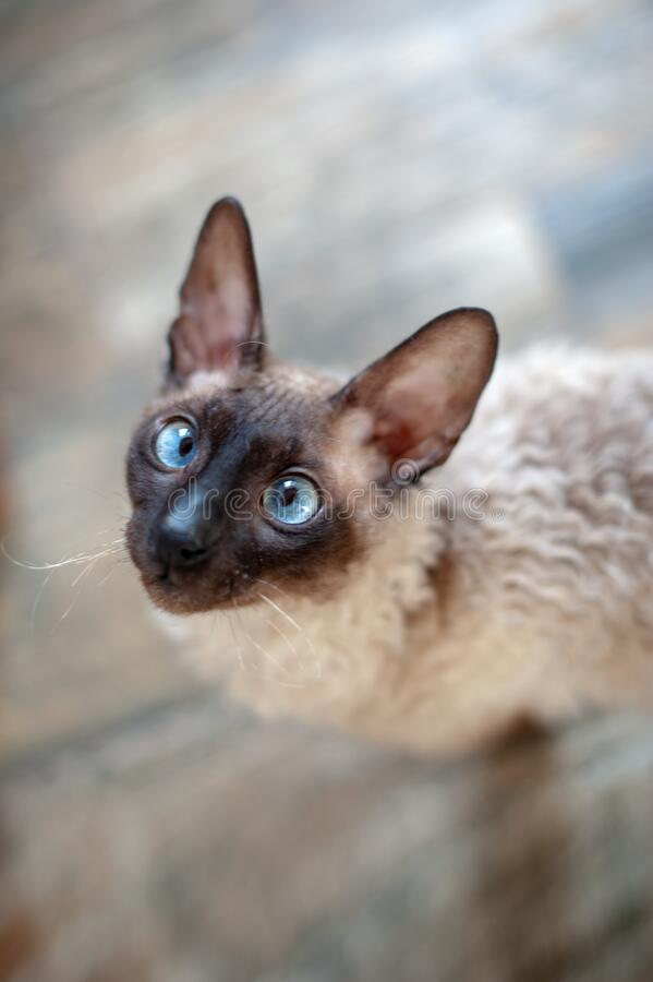 Funny curly cat. With blue eyes royalty free stock photography