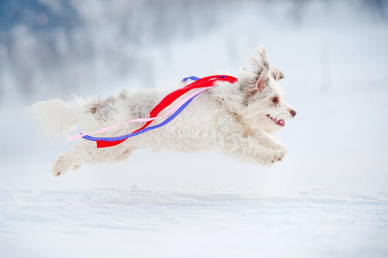 Funny curly dog running fast royalty free stock photography