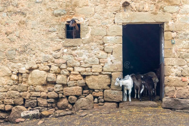 Adult and young goats looking out of barn doors and window. Life on farm. Ecotourism concept. Funny and cute adult and young goats looking out of barn doors and royalty free stock photos
