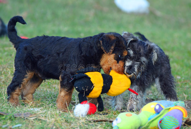 Funny cute baby puppies playing tug of war with soft plush toy stock photography