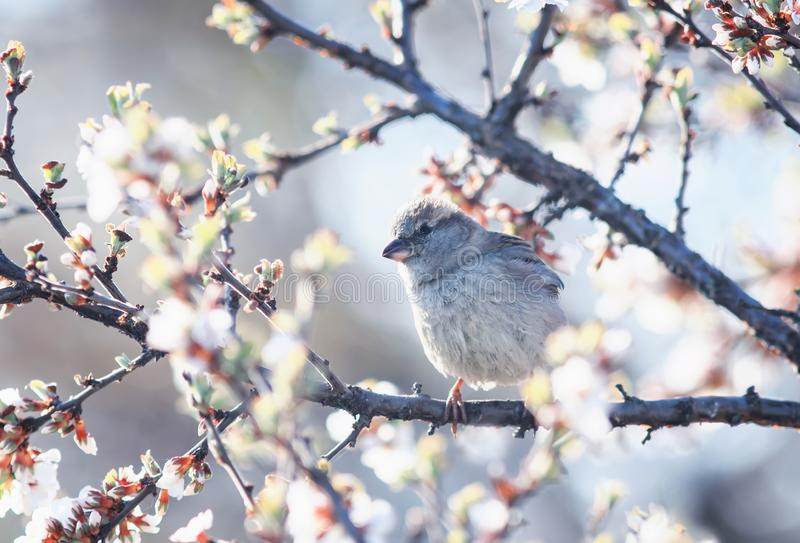 Funny cute bird Sparrow sitting in the spring garden on a branch of cherry blossoms Sunny warm may morning stock photo
