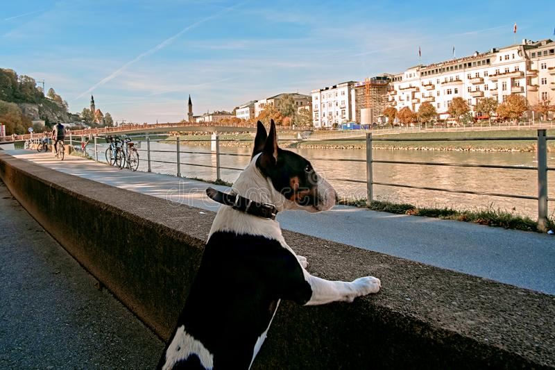 Funny cute bull terrier puppy dog looking over Salzach river bank in Salzburg, Salzburger Land, Austria royalty free stock image