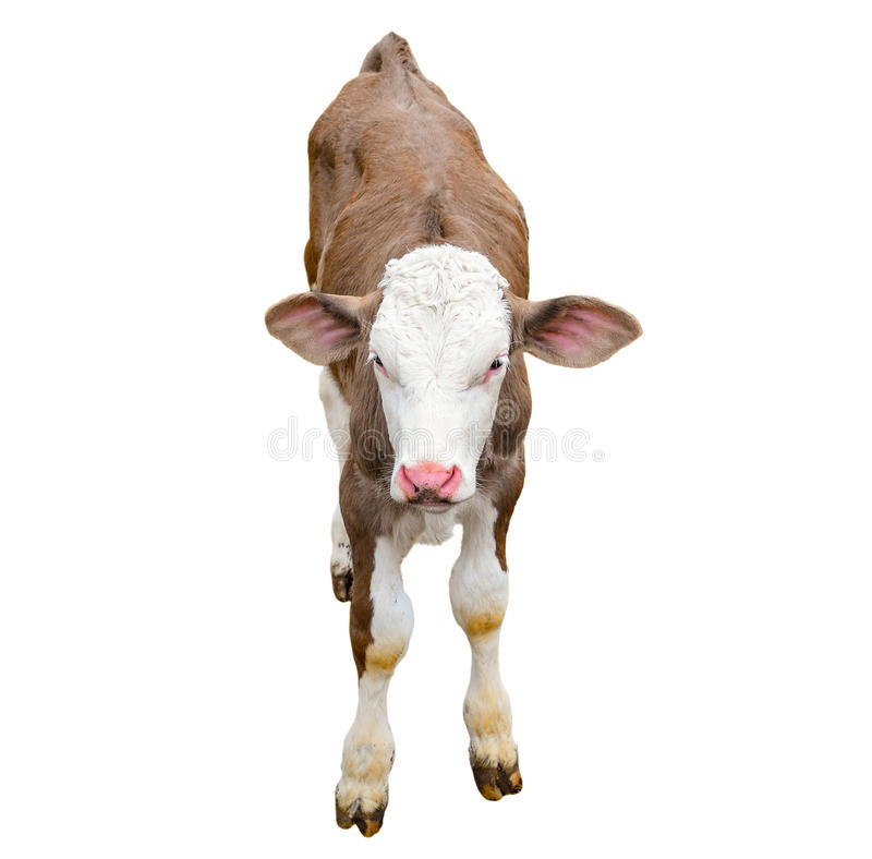 Funny cute calf isolated on white. Looking at the camera brown young cow close up. Funny curious calf. Farm animals. royalty free stock image