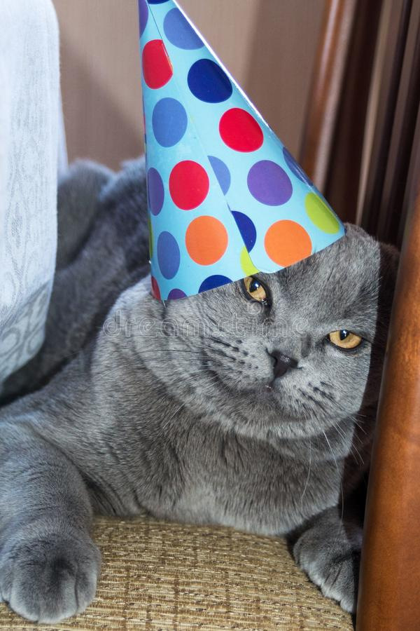 Funny cute cat in a paper hat. Birthday pet. Scottish Fold Cat stock images