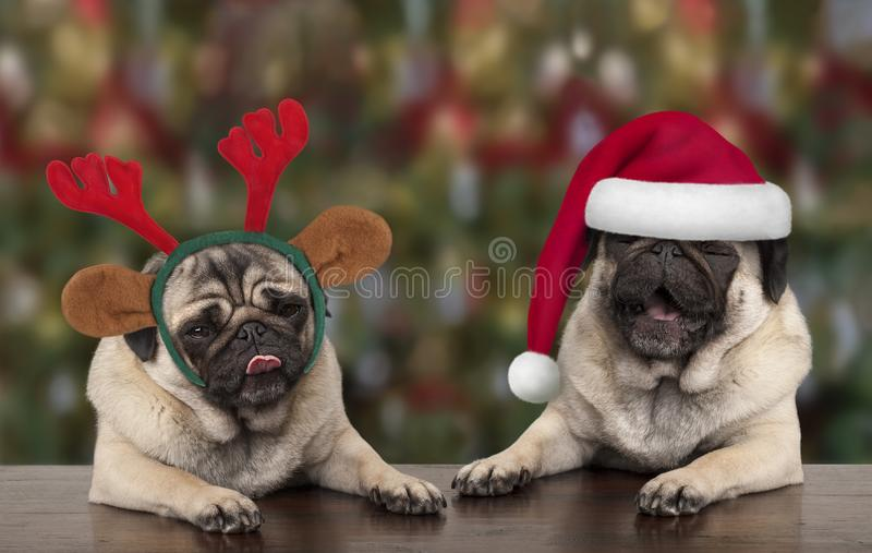 Funny cute Christmas pug puppy dogs leaning on wooden table, wearing santa claus hat and reindeer antlers royalty free stock images