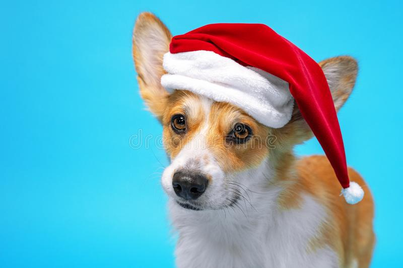 Funny cute corgi dog  on blue background dressed in red Santa Claus hat. Pretty  dog face expression. New year or Christmas stock image