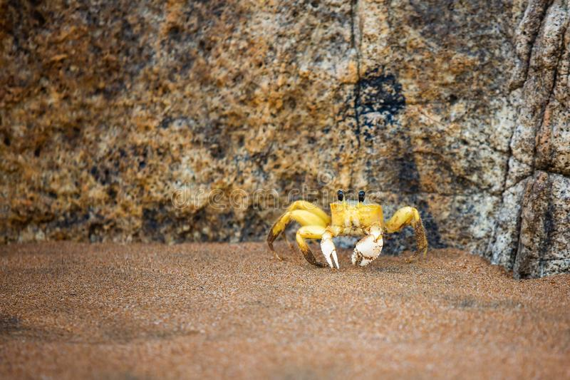 Funny cute crab crawling at the beach sand alone. At day royalty free stock image