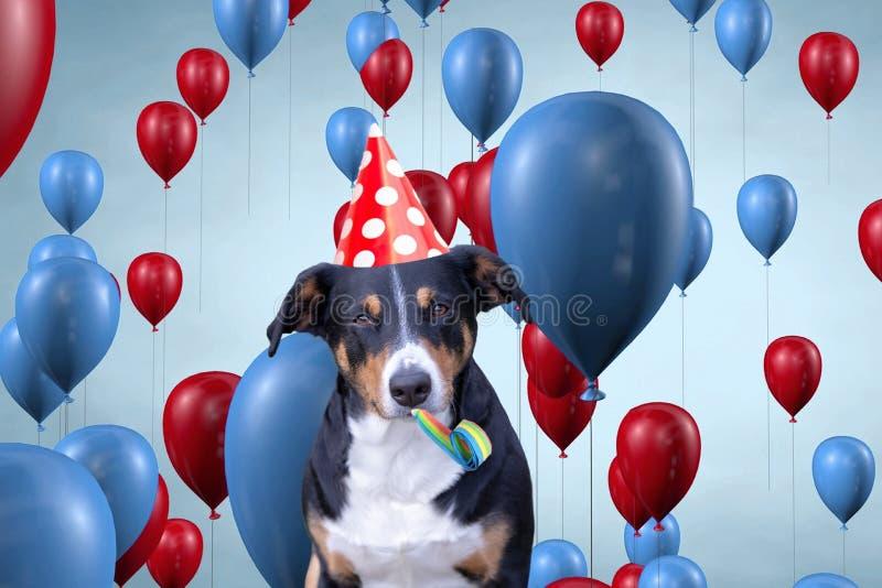 Funny cute dog celebrating his birthday party, Appenzeller Sennenhund stock image