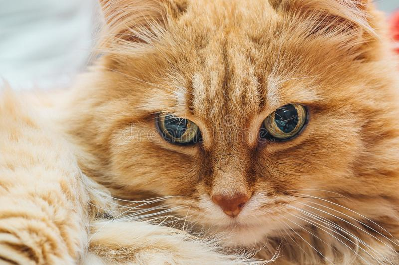 Funny cute Ginger or Rad Cat portrait stock images