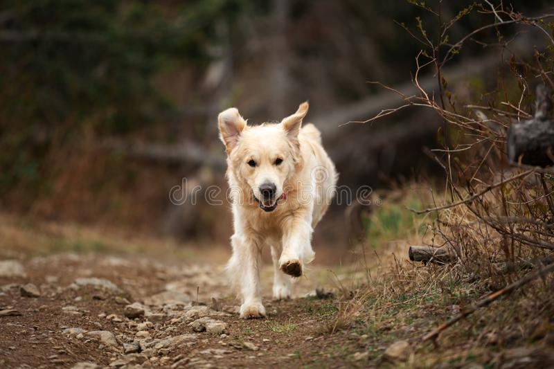 Funny, cute and happy dog breed golden retriever running in the forest and has fun at sunset. Close-up Portrait of Funny, cute and happy dog breed golden royalty free stock images