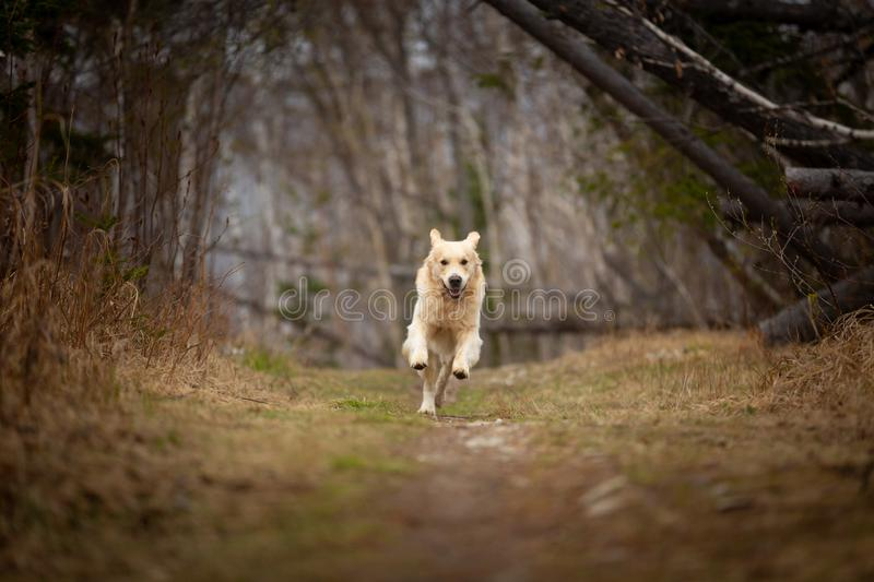 Funny, cute and happy dog breed golden retriever running in the forest and has fun at sunset. Portrait of funny, cute and happy dog breed golden retriever stock photos