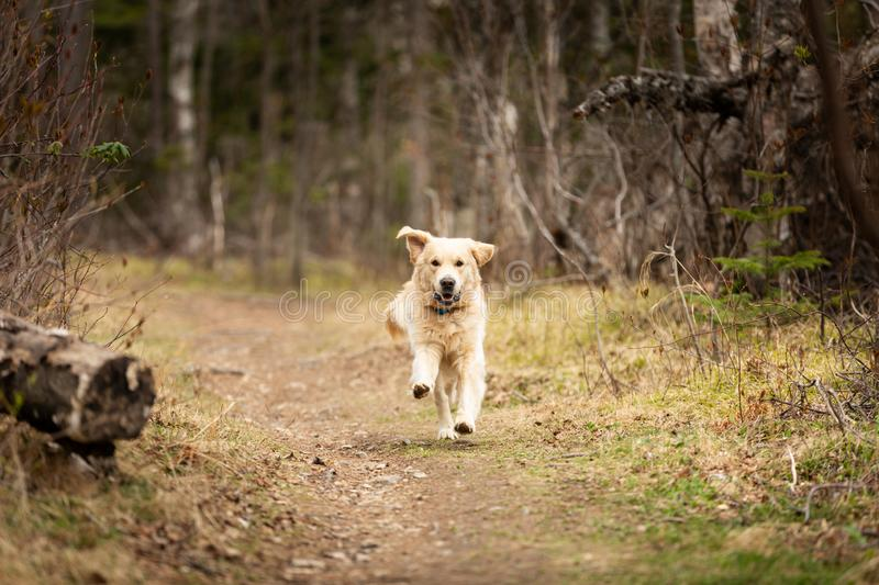 Funny, cute and happy dog breed golden retriever running in the forest and has fun at sunset. Portrait of Funny, cute and happy dog breed golden retriever stock images