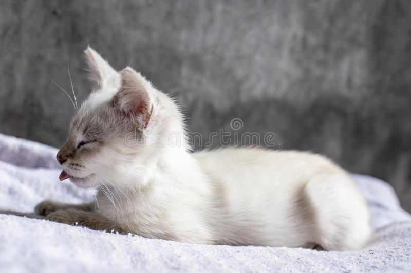 Funny, cute kitten sleeps with his tongue hanging out, on a soft pillow royalty free stock image