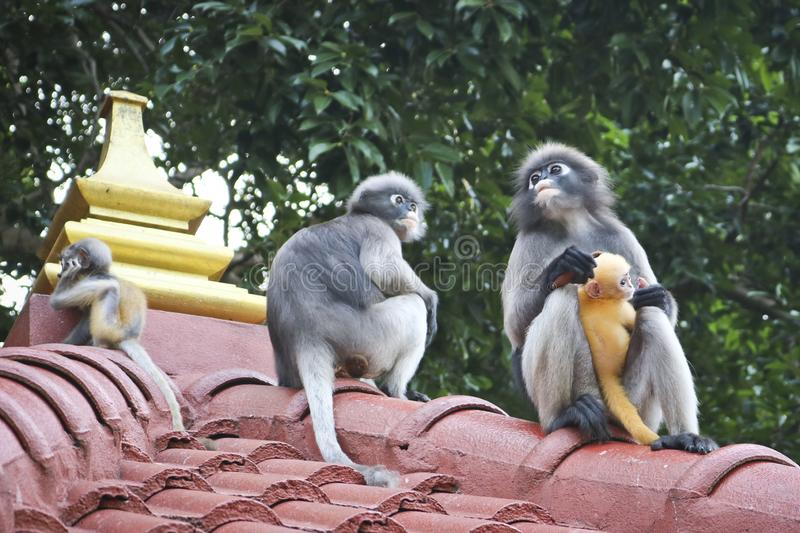 Funny cute monkeys spectacled langur Trachypithecus obscurus in the national park. Female monkey and her little yellow baby stock photo