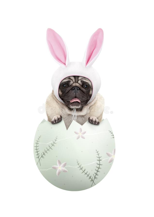 Funny cute  pug puppy dog wearing bunny ears, sitting in pastel green easter egg stock photography