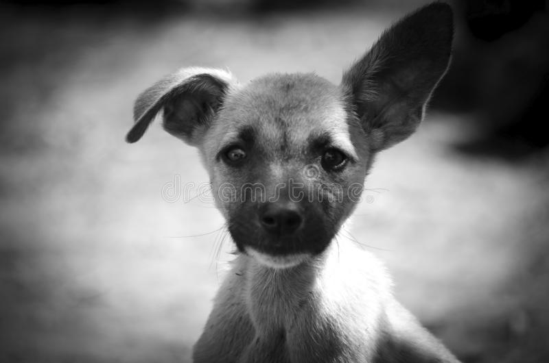 Portrait of a funny puppy with a drooping ear. Monochrome royalty free stock photography