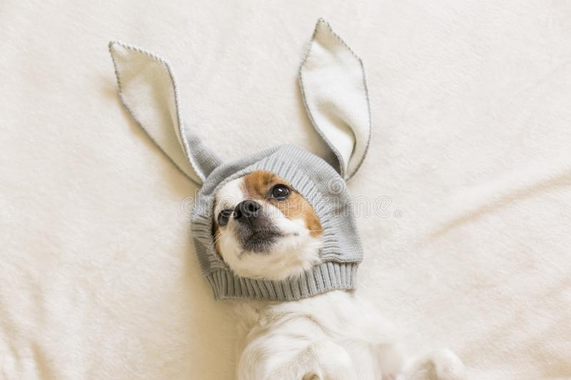 Funny cute small dog sitting on bed and looking at the camera with a costume of bunny ears. Pets indoors. Top view. Studio, beautiful, couch, adorable, fluffy stock photography