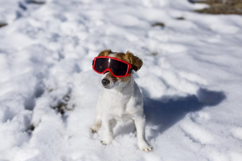 funny cute small dog wearing red ski goggles in the snow. Sunny weather. Pets outdoors stock photography