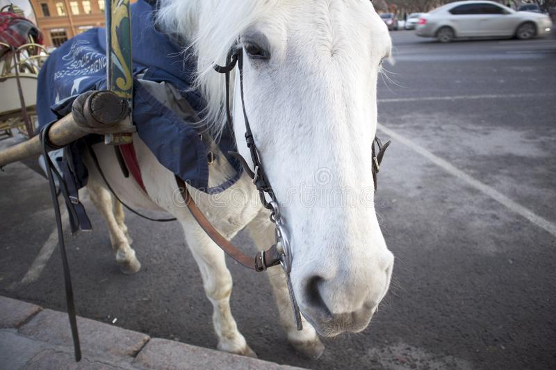 Funny cute white horse harnessed to a walking carriage stock photo