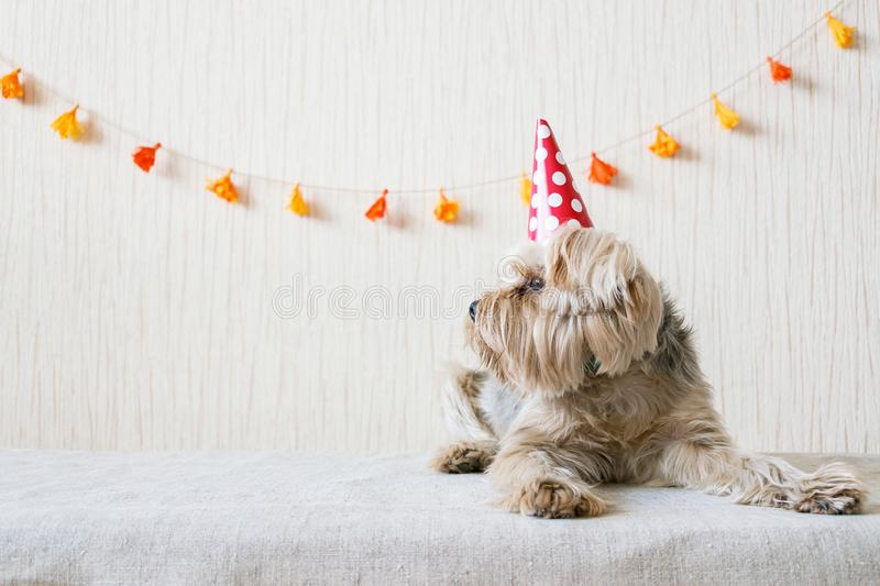 Funny cute Yorkshire Terrier (Yorkie) Dog in red party hat cap l stock image