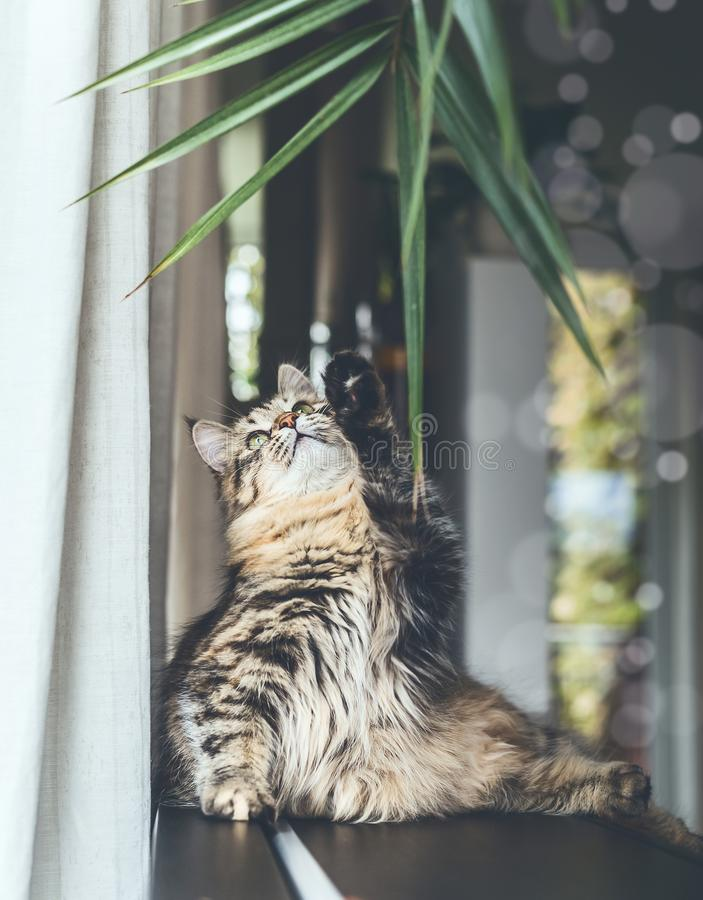 Funny cute young cat playing with hanging home plant leaves in living room. Fluffy Purebred Siberian cat stock photo