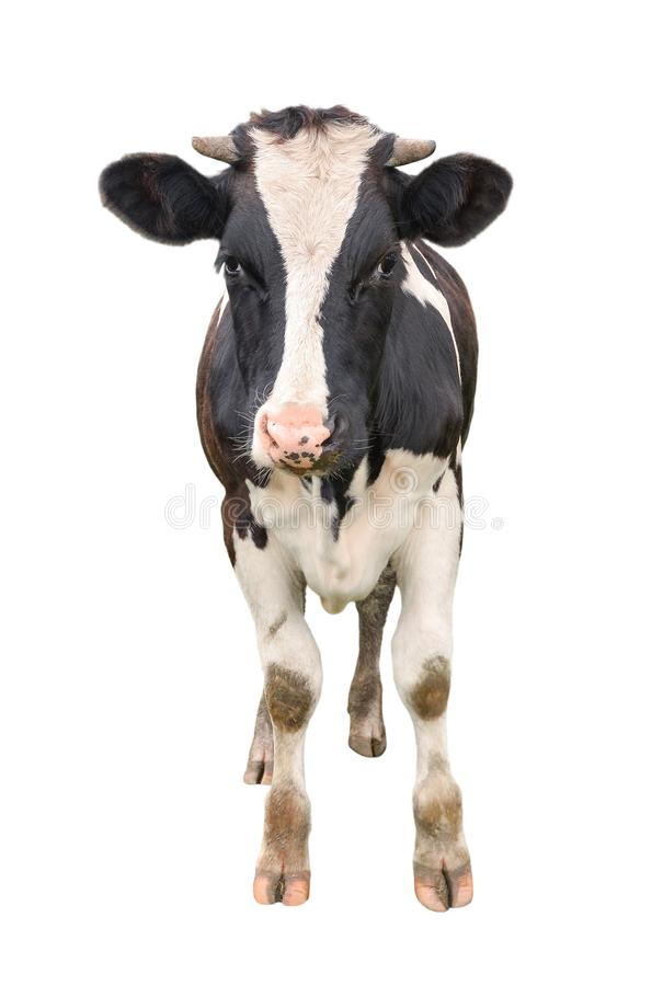 Funny cute young cow full length isolated on white. Looking at the camera black and white curious spotted cow close up. Funny cow muzzle close up. Farm animals royalty free stock images