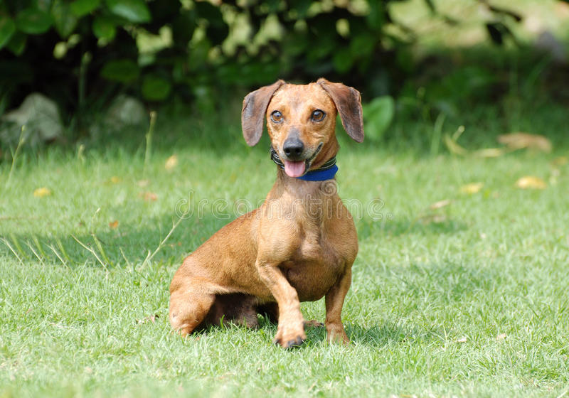 Funny Dachshund. A cute little Dachshund with funny facial expression sitting and staring royalty free stock images