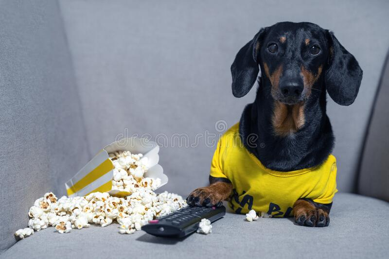 Funny dachshund dog in a yellow T-shirt spends his free time in weekend sitting in chair with a pack of popcorn and TV remote cont. Rol watching a film. The stock photo
