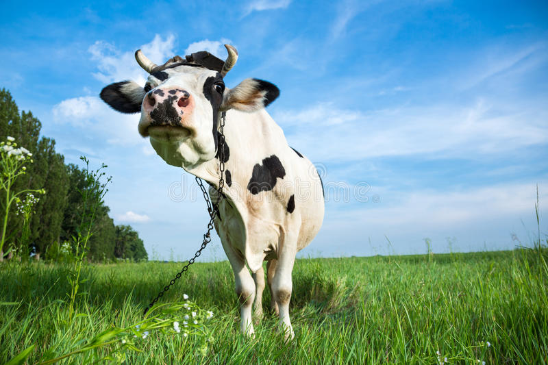 Funny dairy cow on a pasture. Funny black and white colour dairy cow on a pasture with fresh green grass stock images