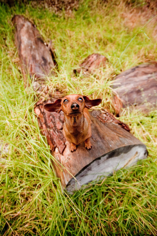 Funny daschund. Daschund looking up with ears outstretched stock photo
