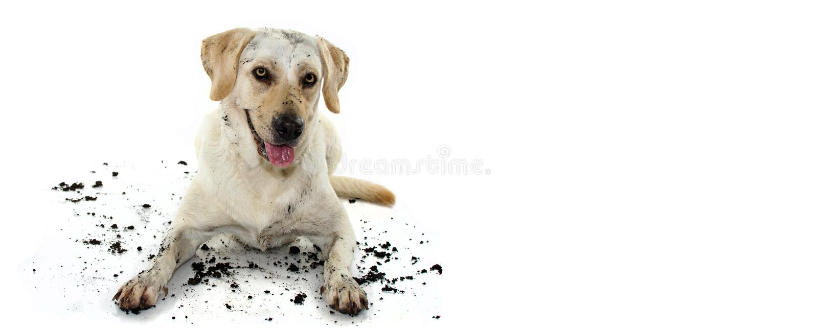 FUNNY DIRTY MIXEDBRED GOLDEN OR LABRADOR RETRIEVER AND MASTIFF DOG, AFTER PLAY IN A MUD PUDDLE, MAKING GUILTY FACE. ISOLATED. AGAINST WHITE BACKGROUND. STUDIO royalty free stock photos