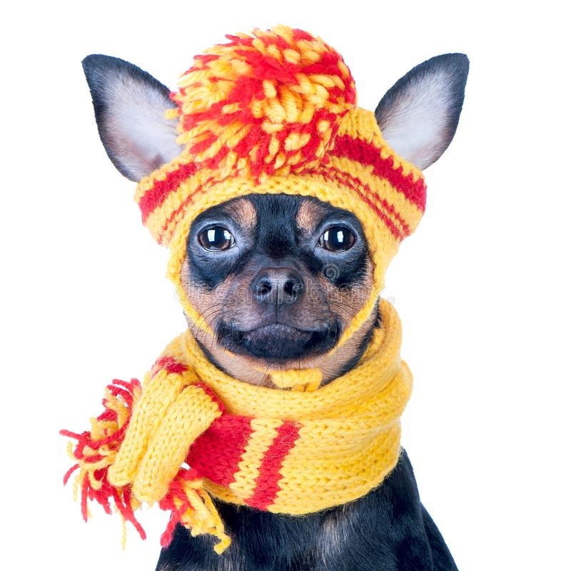 Funny dog ​​in a knitted cap and scarf, portrait of a macro. Isolated. Autumn, winter, clothes for dogs royalty free stock images