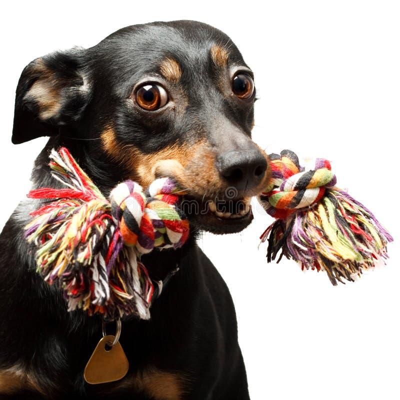 Funny dog. Funny black dog isolated over white background stock images