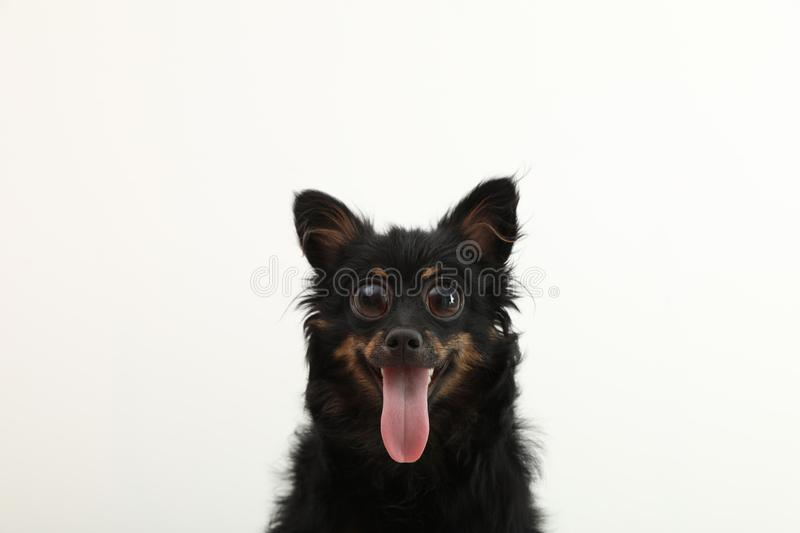 Funny dog with big eyes on white background. Cute pet royalty free stock image